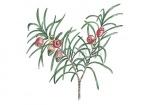 Taxus-besen-18196