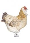 Faverolle-hen-10601