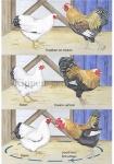 Kippen-gedrag-101001