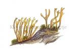 Kleverig koraalzwammetje-19019