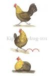 Kippen-gedrag-101002