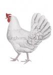 Leghorn-hen-10609