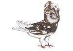 Oudhollandse kapucijn-100578