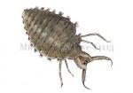 Mierenleeuw-larve-14113