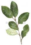 Boswilg-bladeren-182426