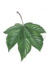 Gewone esdoorn-blad-182313