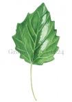 Grauwe abeel-blad-182422