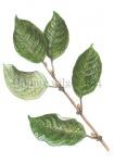Grauwe wilg-bladeren-4182427