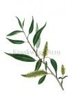 Kraakwilg-blad en bloeiwijze-18119