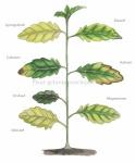 Plant-gebreksverschijnselen