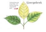 Plant-IJzergebrek-210025
