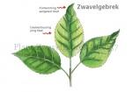 Plant-Zwavelgebrek-210037