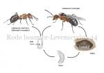 Rode bosmier-Levenscyclus-14446-1