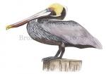 Bruine pelikaan-10787