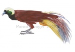 Paradijsvogel-10782