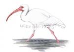 Witte ibis-10785