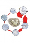 Zilvermeeuw-evenwicht ecosysteem-08-05-05