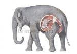 Olifant met jong in baarmoeder-11253