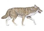 Wolf-11256