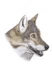 Wolf-kop-11257