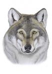Wolf-kop-11258.jpg