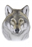 Wolf-kop-11258