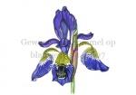 Gewone aardhommel op blauwe iris-140007