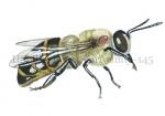 Honingbij met Varroamijt-14537