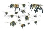 Honingbij Reinigingsvlucht-140023