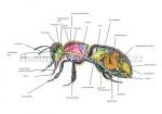 Honingbij-anatomie-14522