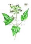Honingbijen-op klimop-182446