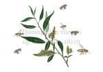 Honingbijen vliegen op Kraakwilg-18119