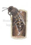 Honingbij-Koningin legt ei-14237-1