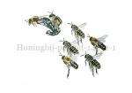 Honingbij-parend-14532-1
