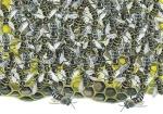Honingbij-Raat vol honingbijen-14450