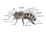 Honingbij-schematische tekening-14205