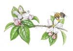 honingbij op appelbloesem-182566-1