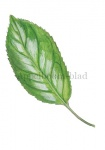 Appelboom-blad-182567