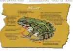 Het lichaam van de kikker-170005.jpg