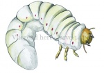 Vliegend hert - larve-14439