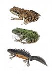 Bruine kikker-groene kikker-kamsalamander-17002