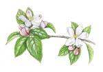 Appelboom-bloei-182566.jpg