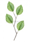 Beuk-tak met bladeren-180001-1