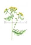 Boerenwormkruid-182586
