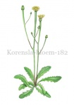 Korensla-bloem-182574-1