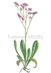 Lamsoor-182585