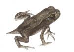 Gewone pad-larve-17043