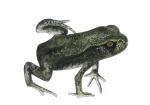 Gewone pad-larve-zonder staart-17043