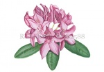 Rododendron-182588