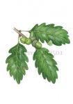 Wintereik-bladeren met eikels-182501